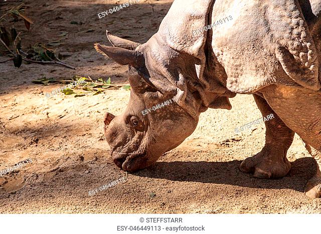 Indian rhinoceros, Rhinoceros unicornis, found in the savannahs of India and Nepal