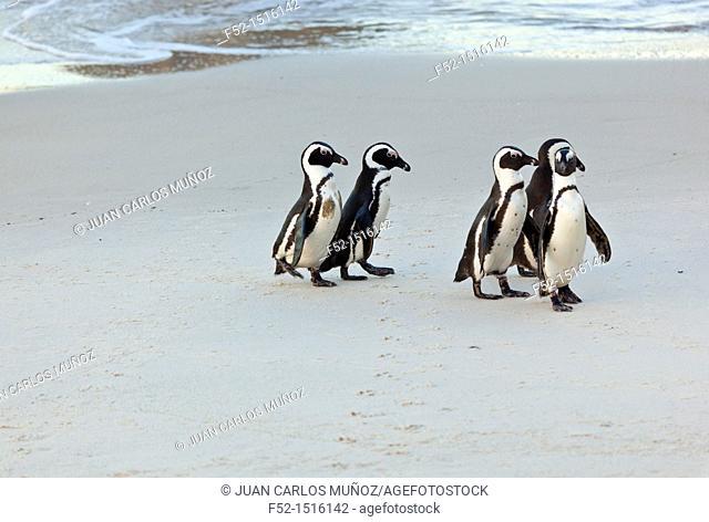 AFRICAN PENGUIN, False Bay, South Africa, Africa