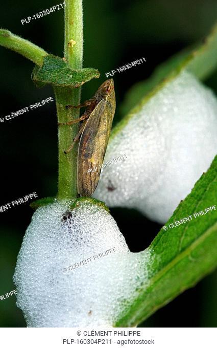 Meadow froghopper (Philaenus spumarius) and foam nest on leaves