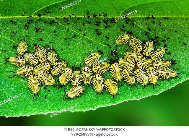 Wild Olive Tortoise Beetle larvae (Physonota alutacea) - Camp Lula Sams, Brownsville, Texas, USA
