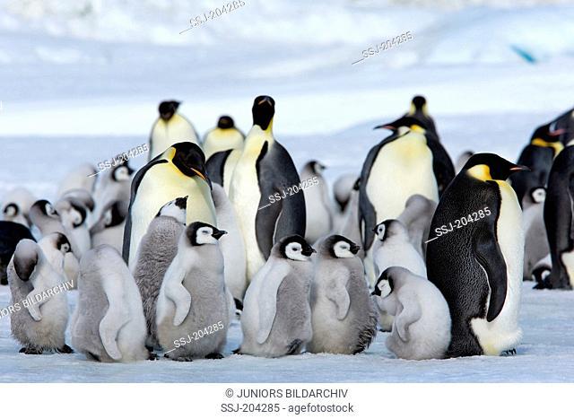 Emperor Penguin (Aptenodytes forsteri). Adult birds and chicks on ice. Snow Hill Island, Antarctica