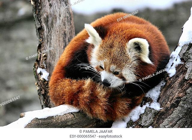 Kleinerpanda
