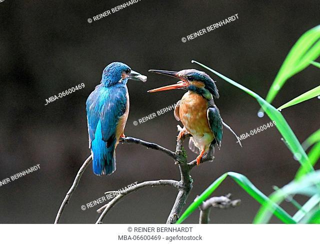 Kingfishers, Alcedo atthis