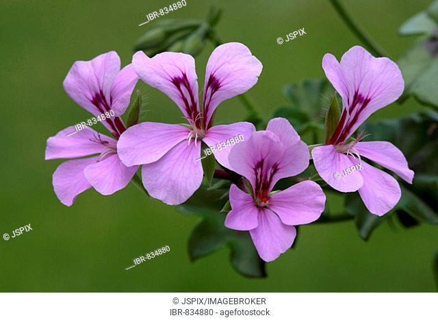 Pelargoniums (Pelargonium spec.), hybrid, blossoms