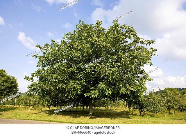Walnuts, walnut tree (Juglans regia), Breisgau, Baden-Württemberg, Germany