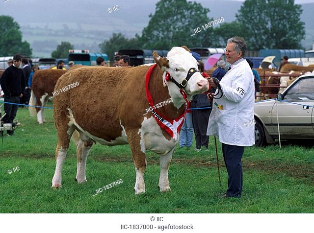 Tinahely, Co Wicklow, Ireland, Man judging bull in ring at fair