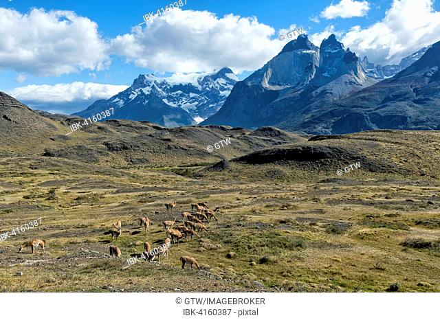 Guanaco herd grazing in the steppes of Torres del Paine National Park, Chilean Patagonia, Chile