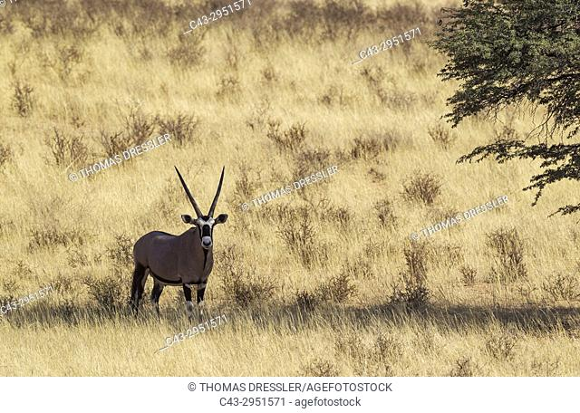 Gemsbok (Oryx gazella). Male, resting in the shade of a camelthorn tree (Acacia erioloba). Kalahari Desert, Kgalagadi Transfrontier Park, South Africa