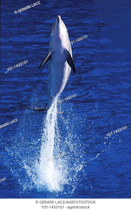 BOTTLENOSE DOLPHIN tursiops truncatus, ADULT LEAPING OUT OF WATER, HONDURAS