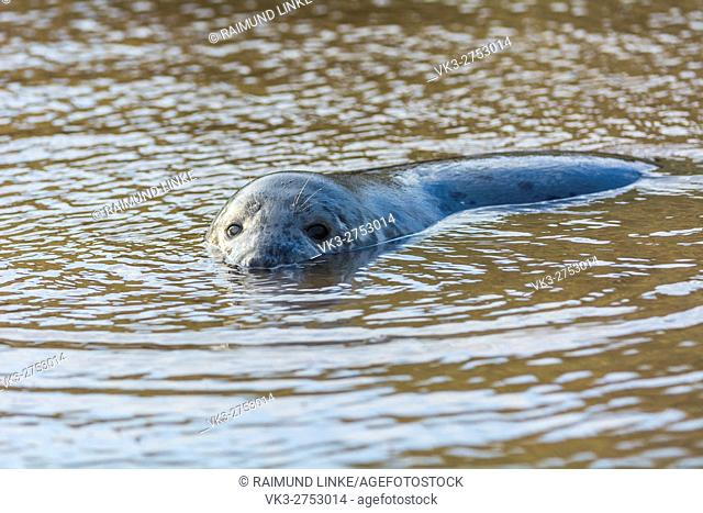 Grey Seal, Halichoerus grypus, Pup in Water, Europe
