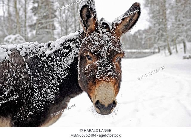 A brown donkey commited with snow on wintry pasture