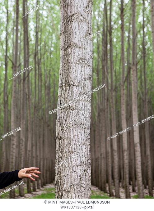 A poplar tree nursery plantation, and a person reaching to touch a tree in Oregon USA
