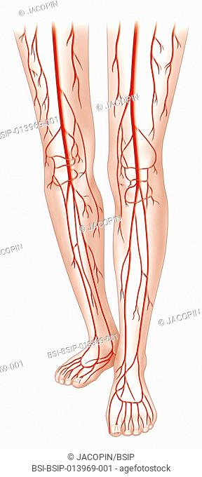 Arteria tibialis posterior Stock Photos and Images | age fotostock
