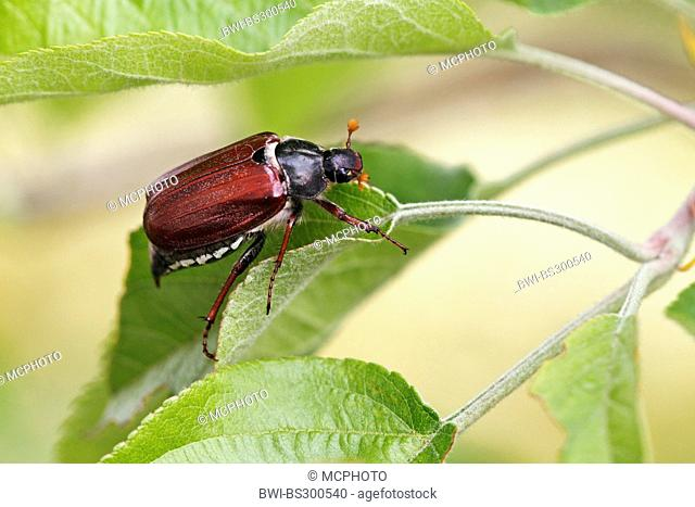 common cockchafer, maybug (Melolontha melolontha), sitting on a leaf of an apple tree, Germany, Baden-Wuerttemberg