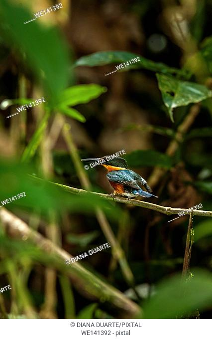 ' Green Kingfisher', (Chloroceryle americana), It is oily green with a yellow-orange collar around the neck, rufous underparts and a white belly