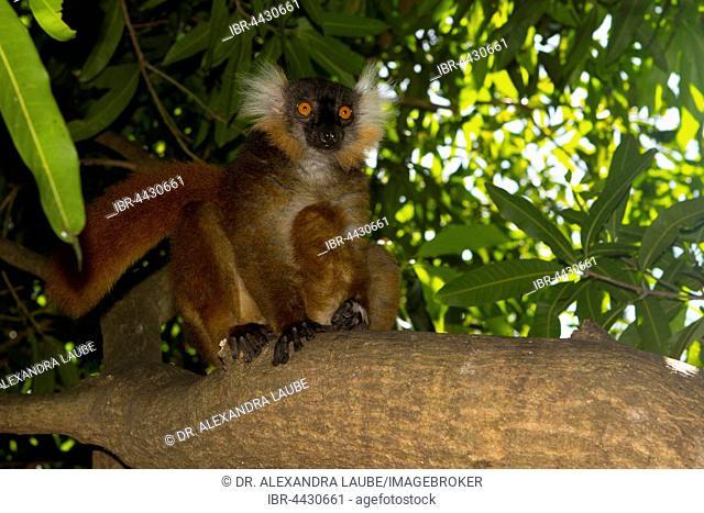 Black lemur (Eulemur macaco), female, Nosy Komba, Northwest Coast, Madagascar