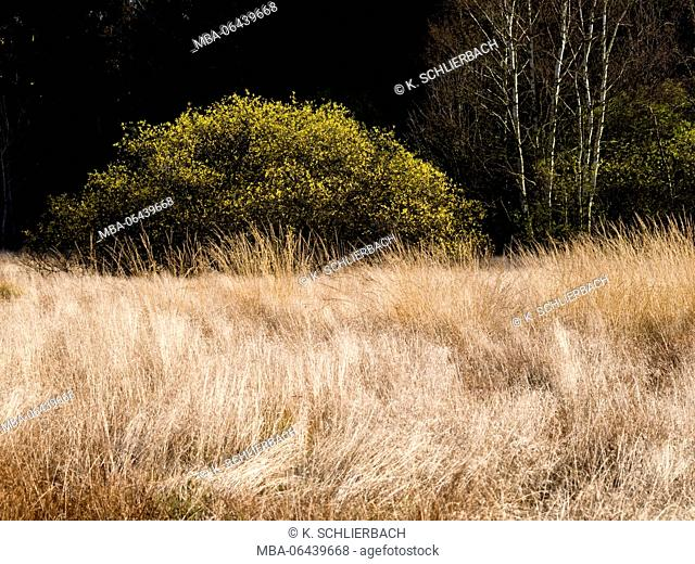 Germany, Bavaria, Rhön Biosphere Reserve, UNESCO biosphere reserve, Naturschutzgebiet Schwarzes Moor (nature reserve), wind shaped moor grasses