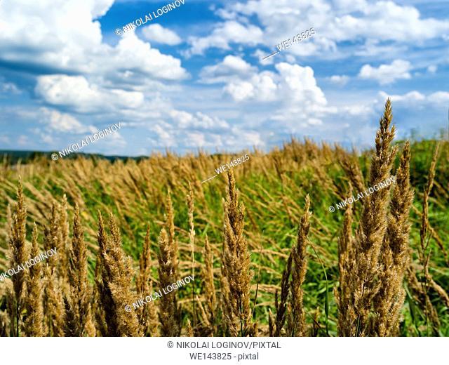 Horizontal rye corn summer field landscape bokeh