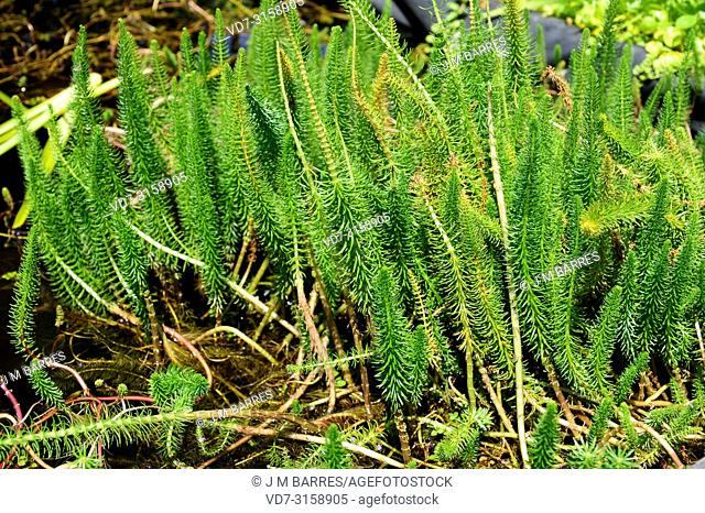 Mare tail (Hippuris vulgaris) is an aquatic plant native to Eurasia and North America