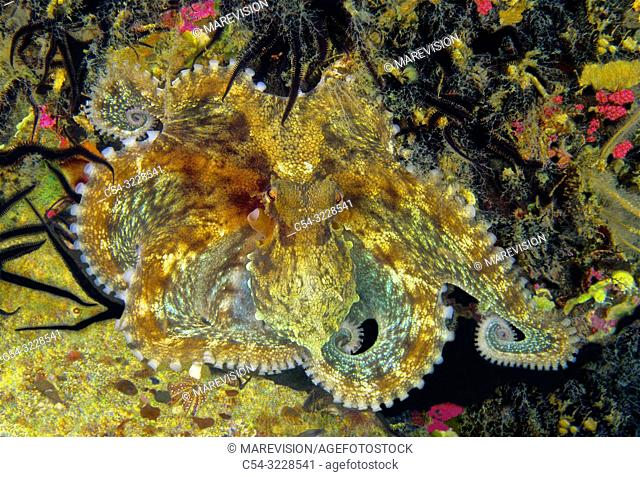 Juvenile common octopus (Octopus vulgaris). Eastern Atlantic. Galicia. Spain. Europe