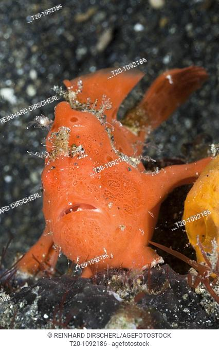 Painted Frogfish, Antennarius pictus, Lembeh Strait, North Sulawesi, Indonesia