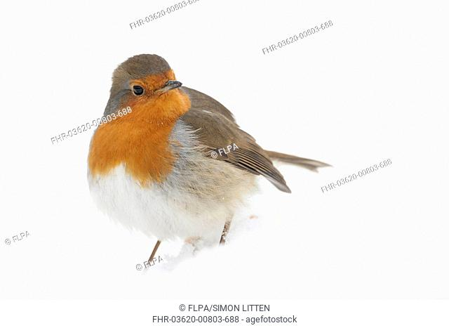 European Robin (Erithacus rubecula) adult, standing on snow covered ground, Norfolk, England, January