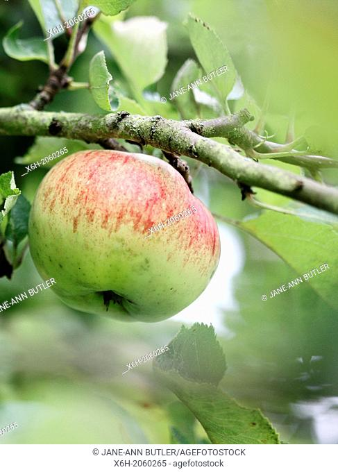 gorgeous apple tree with fruit ready for picking