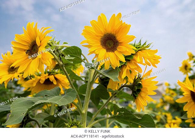 Sunflower plants near Vanderhoof, British Columbia, Canada