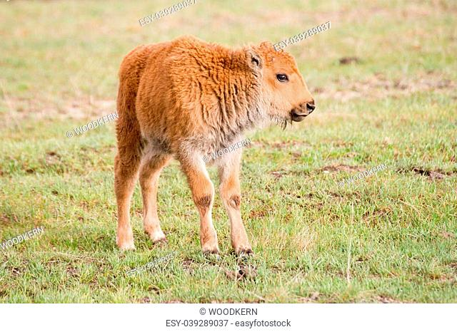 "A very young bison calf a.k.a. """"red dog"""""""""""