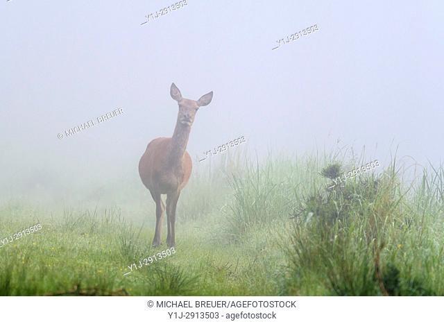 Red deer (Cervus elaphus) on misty morning, Female, Summer, Spessart, Hesse, Germany, Europe