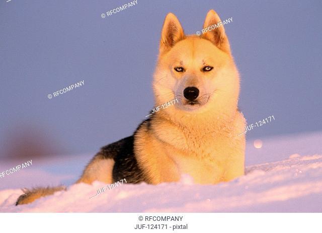 Sibirian Husky - in snow
