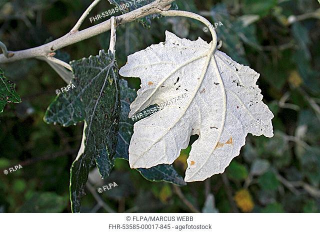 White Poplar (Populus alba) close-up of leaf underside, growing in hedgerow, Mendlesham, Suffolk, England, September