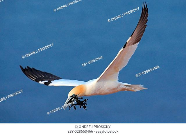 Flying Northern gannet with nesting material in the bill