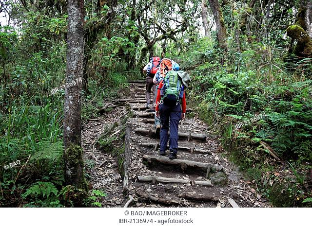 Machame Route, beginning of the ascent of Mount Kilimanjaro through tropical rainforest, Tanzania, Africa