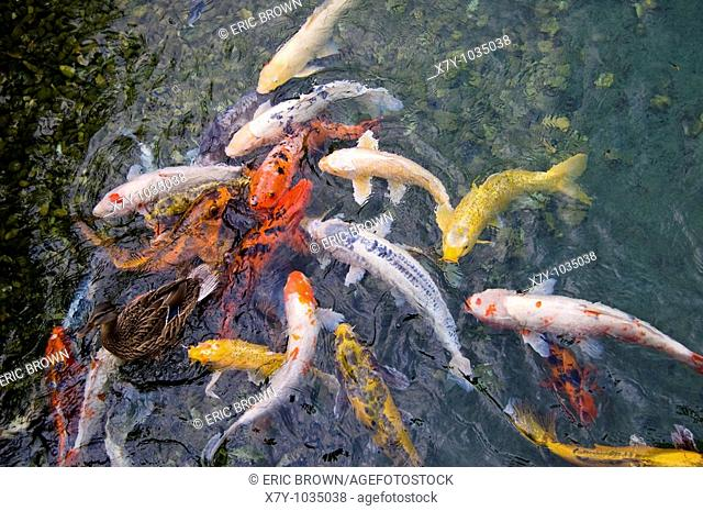 A duck swims with a school of fish in a pond
