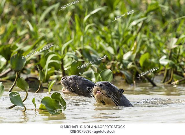 Giant river otters, Pteronura brasiliensis, hunting near Puerto Jofre, Mato Grosso, Pantanal, Brazil