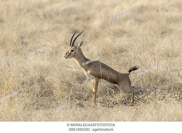 Asia, India, Rajasthan, Ranthambore National Park, Chinkara (Gazella bennettii