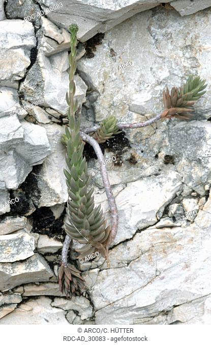Reflexed Stonecrop Provence Southern France Sedum reflexum