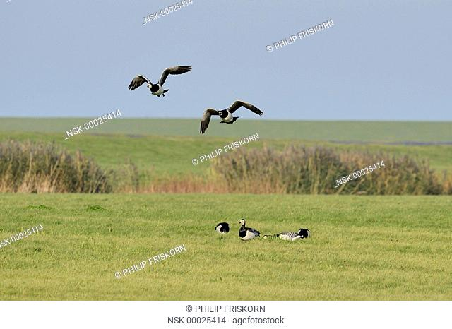 Barnacle Geese (Branta leucopsis) in flight and foraging in the Bantpolder, The Netherlands, Friesland, National Park Lauwersmeer