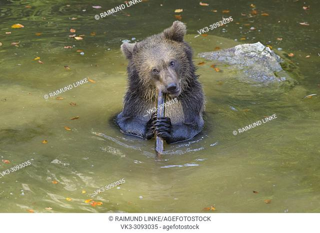 Brown bear, Ursus arctos, cub in pond playing with branch, Germany