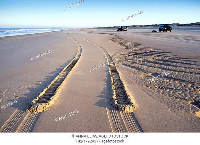 Car tire tracks in the sand on the beach of the fishermen of clams at low tide. Doñana National Park, Huelva, Andalusia, Spain Europe