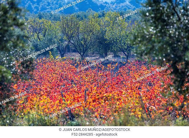 Viñedo, Valle del Set, Les Garrigues, Lleida, Catalunya, Spain