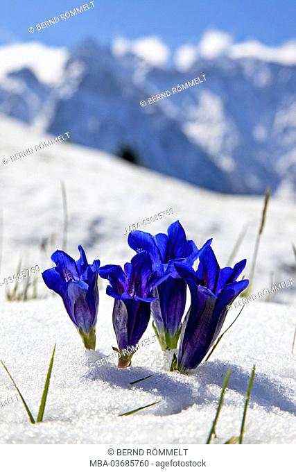 Germany, Bavaria, Upper Bavaria, Werdenfelser Land, stemless gentian