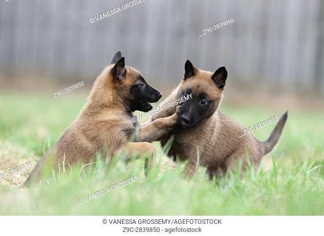 Dog Belgian shepherd Malinois two puppies who plays