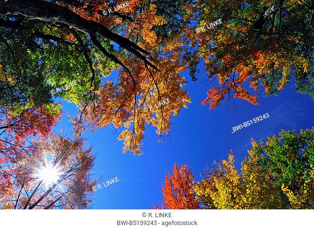 colourful tree tops against blue sky, USA, New Hampshire, White Mountain