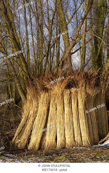 Wooded willow branches against a tree in the Brabantse Biesbosch near the Dutch village Werkendam