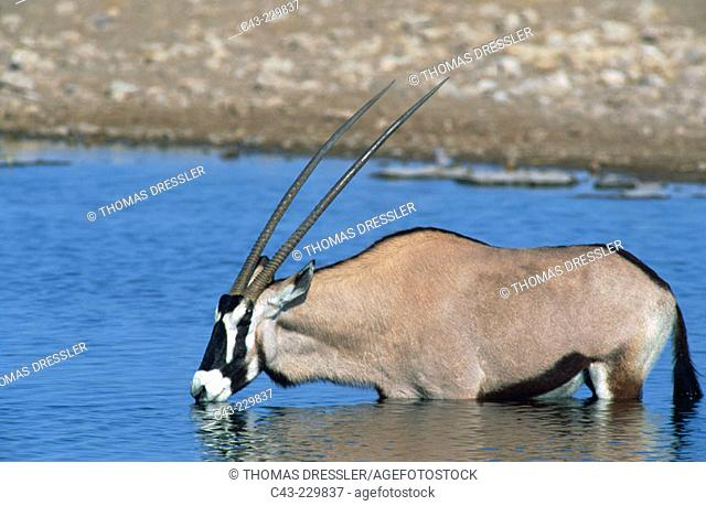 Gemsbok (Oryx gazella) drinking at a waterhole. Etosha National Park. Namibia