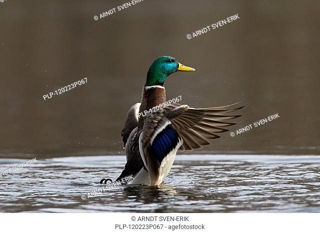 Mallard / Wild Duck Anas platyrhynchos flapping its wings on lake, Germany