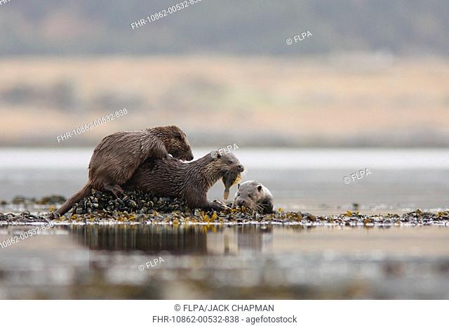 European Otter Lutra lutra mother with two cubs, feeding on flatfish, standing on mussel bed, Isle of Mull, Inner Hebrides, Scotland, april