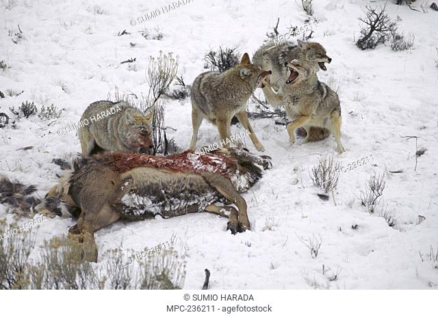 Coyote Canis latrans, four feeding on and fighting over elk carcass in snow, Rocky Mountains, North America